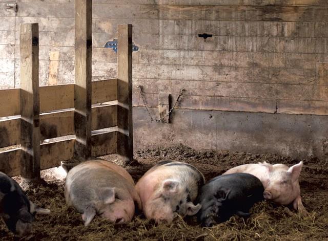 Agricola pigs - HANNAH PALMER EGAN