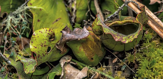Pitcher plant - COURTESY OF NANCY PIETTE