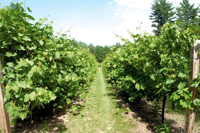 The vineyard at Hid-In-Pines - HANNAH PALMER EGAN