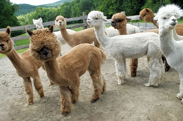 Male alpaca breeding stock - HANNAH PALMER EGAN
