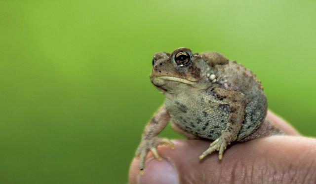 Toad - NANCY PIETTE