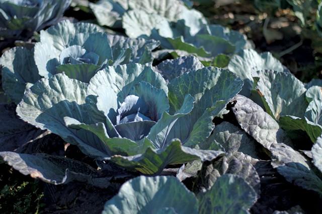 Cabbage - HANNAH PALMER EGAN