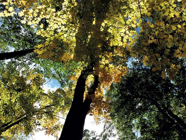 Canopy of maple trees - ETHAN DE SEIFE