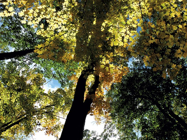 Canopy of maple trees - ETHAN DE SEIFE