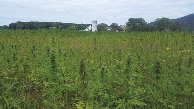 The hemp crop on Hausman's land - COURTESY OF CYNTHEA HAUSMAN