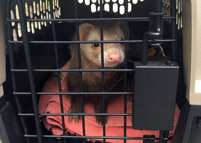 Craig the ferret - TYLER LABELLE