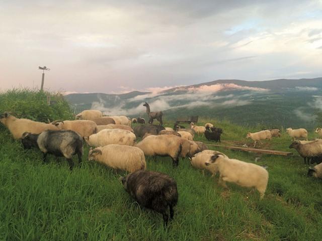 Animals at Knoll Farm - COURTESY OF KNOLL FARM