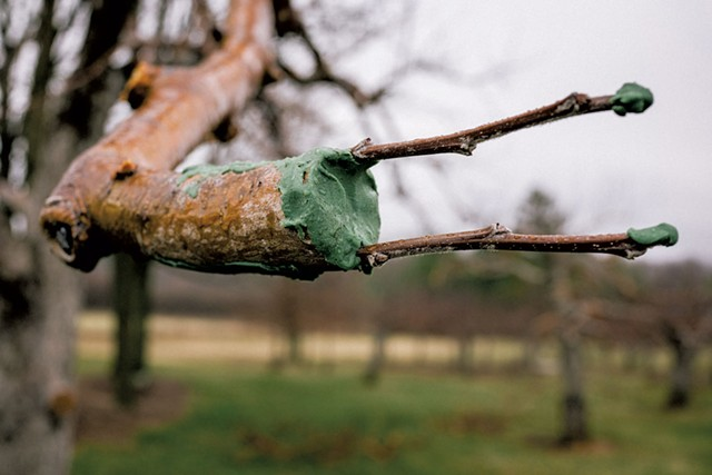 Grafted apple tree branch - COURTESY OF SHACKSBURY