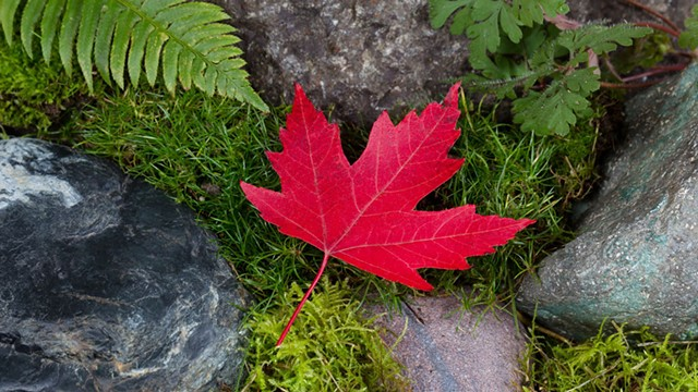 Red maple leaf - DREAMSTIME