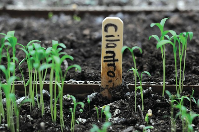 Micro greens, such as these cilantro sprouts, are grown right in the kitchen of SoLo Farm and Table - SARAH PRIESTAP
