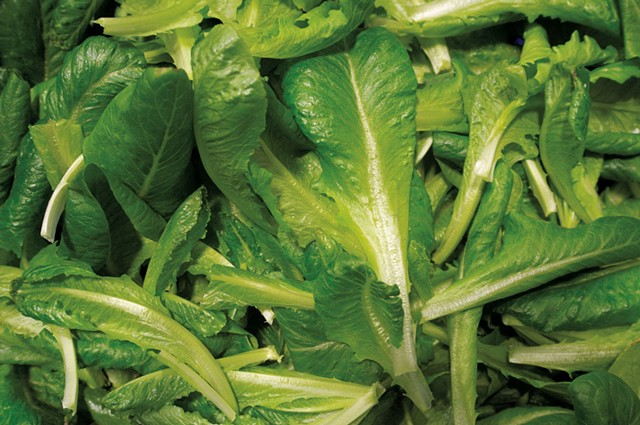 Just-harvested romaine lettuce at Ceres Greens - JEB WALLACE-BRODEUR