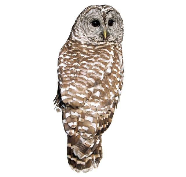 Barred owl - © W. SCHLAEGER   DREAMSTIME.COM