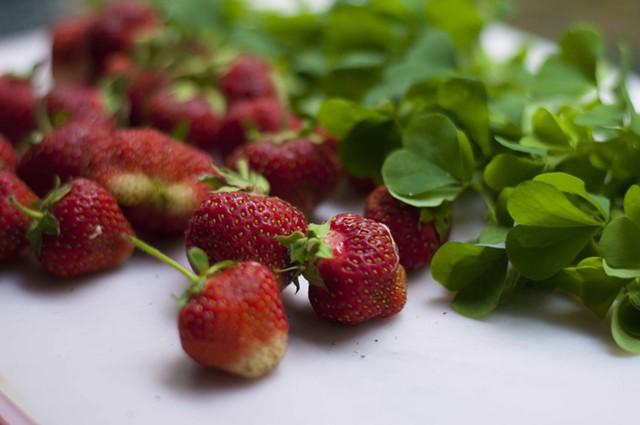 Strawberries and wood sorrel - HANNAH PALMER EGAN