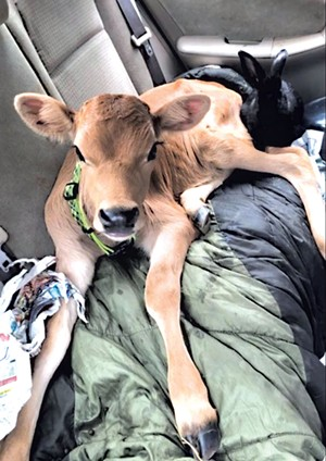 The cow and rabbit in the car - COURTESY OF THE MONTPELIER POLICE DEPARTMENT