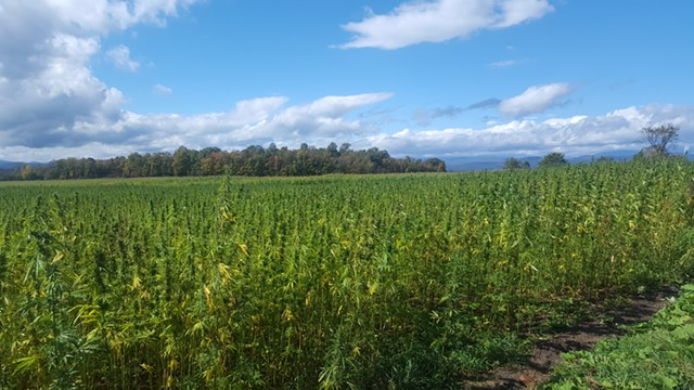 Hausman's 2017 hemp crop - COURTESY OF CYNTHEA HAUSMAN
