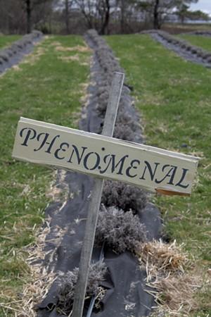 Row of Phenomenal lavender - JULIA SHIPLEY
