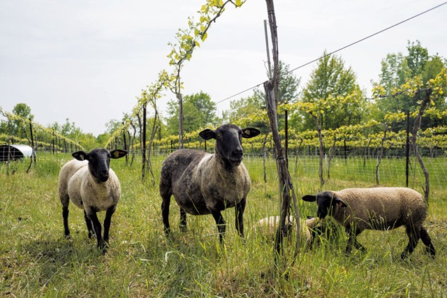 Sheep at Shelburne Vineyard - OLIVER PARINI