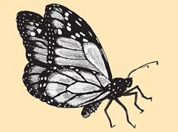 Monarch butterfly - MATT MORRIS