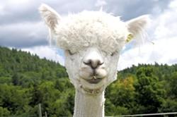 Female alpaca - HANNAH PALMER EGAN