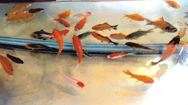 The goldfish - COURTESY OF JOANN NICHOLS
