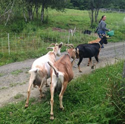 Annalise Morvan leading the goats to the milking barn - STACEY BRANDT