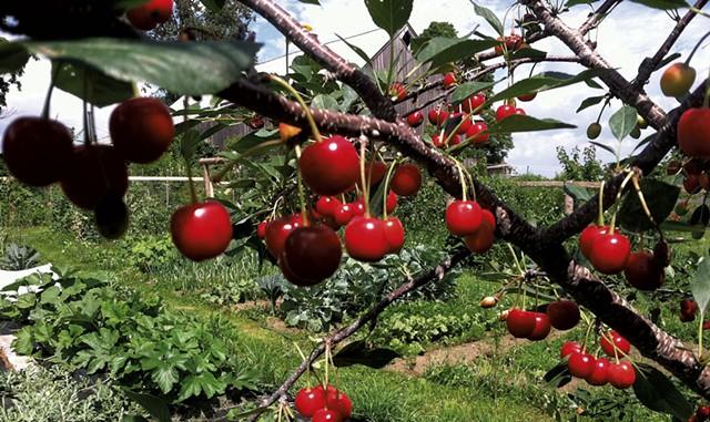 Cherry tree at East Hill Tree Farm - COURTESY OF EAST HILL TREE FARM