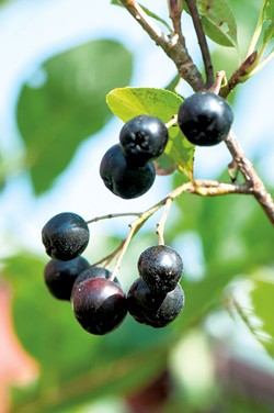 Aronia at Farm Between - JIM DESHLER