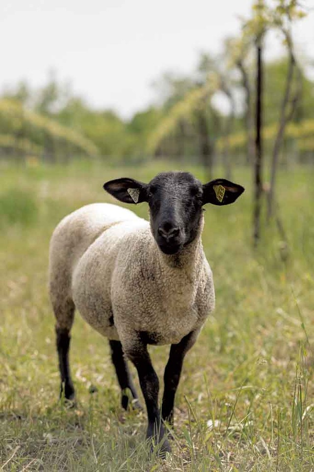 Sheep at Shelburne Vineyard - FILE: OLIVER PARINI