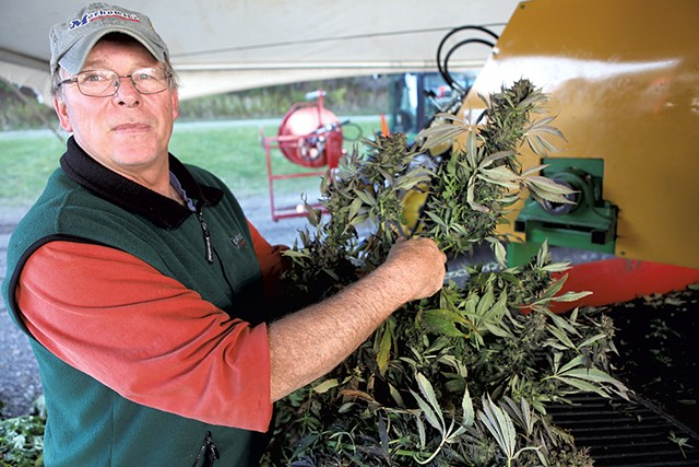 Chris Teitsma harvesting hemp flowers - KEVIN MCCALLUM