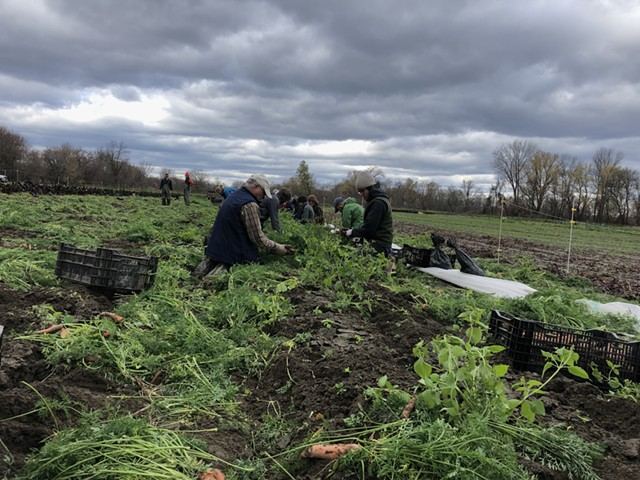 Volunteers and farm staff harvesting carrots at the Intervale Community Farm - JORDAN BARRY