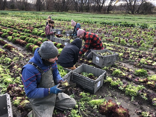 Hilary Martin and volunteers harvesting at Diggers' Mirth Collective Farm - JORDAN BARRY