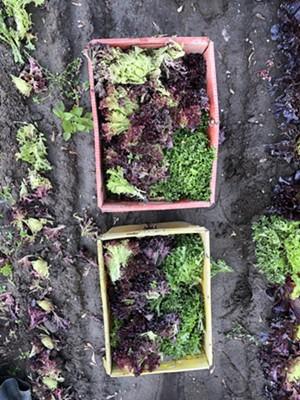 Greens harvested at Diggers' Mirth Collective Farm - JORDAN BARRY
