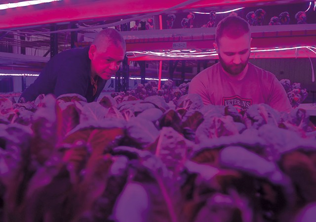 Greg Kelly (left) and Jacob Isham harvesting greens beneath colored LED lights at Ceres Greens - FILE: JEB WALLACE-BRODEUR