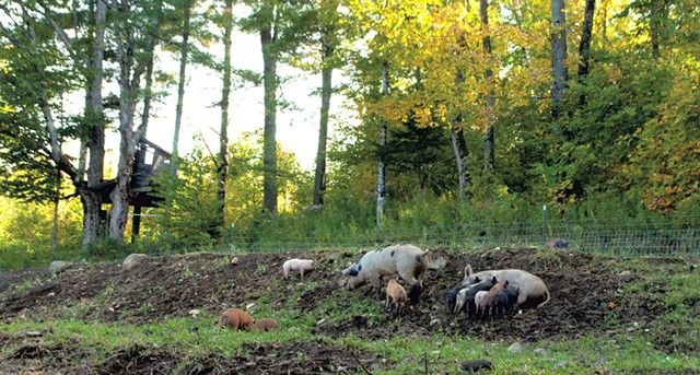 Pastured pigs at Sugar Mountain Farm - HANNAH PALMER EGAN