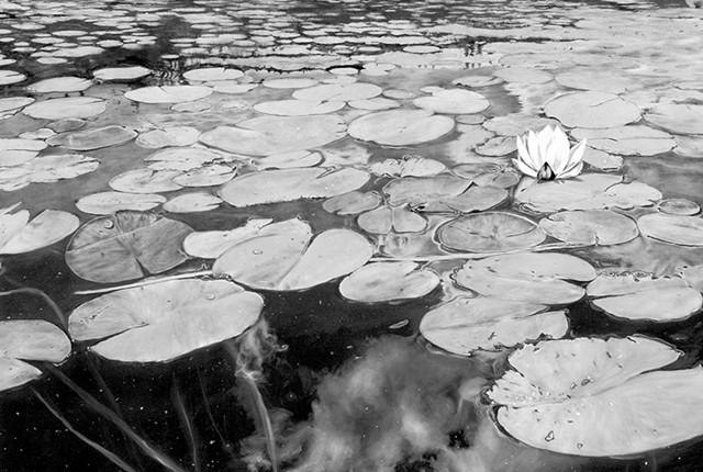 """""""Wolcott Pond in Bloom"""" - GABRIEL TEMPESTA"""