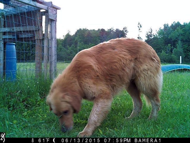 A recent game camera image of Murphy