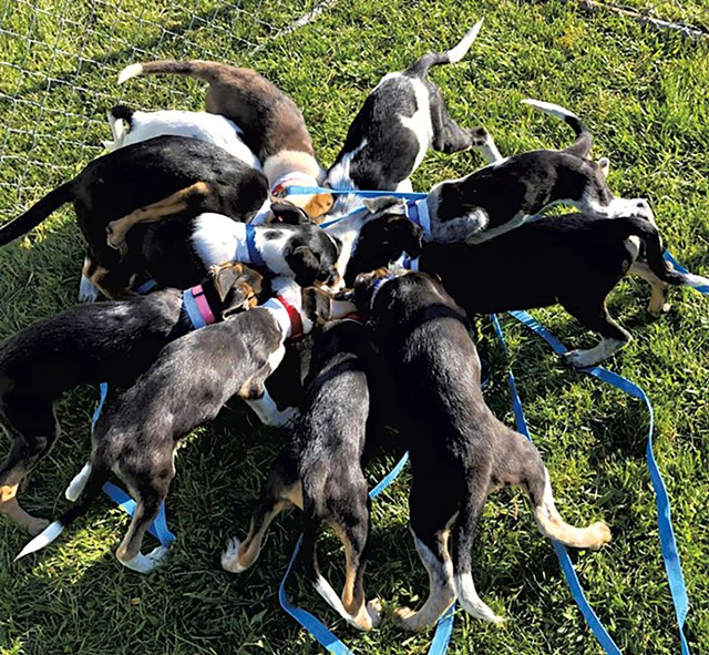 Puppies fresh off the van at VT Dog Rescue - COURTESY OF VT DOG RESCUE