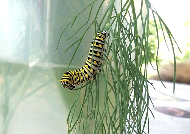 An eastern black swallowtail caterpillar - ELIZABETH M. SEYLER