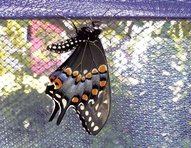 An eastern black swallowtail butterfly letting its wings harden - ELIZABETH M. SEYLER