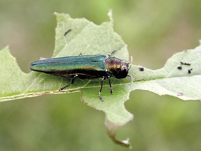 Emerald ash borer - COURTESY OF DEBBIE MILLER/U.S. FOREST SERVICE/BUGWOOD.ORG