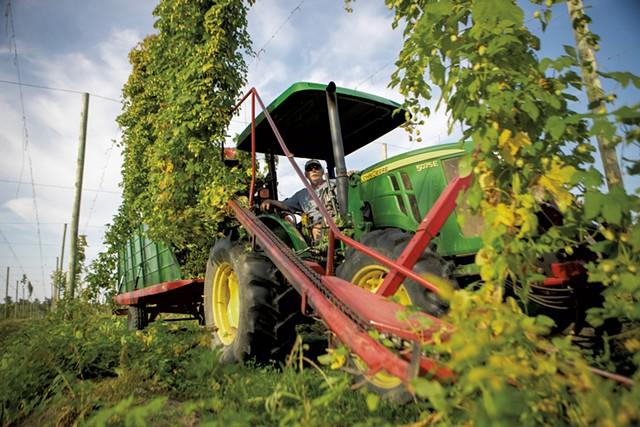 Harvesting hops at Champlain Valley Hops - JAMES BUCK