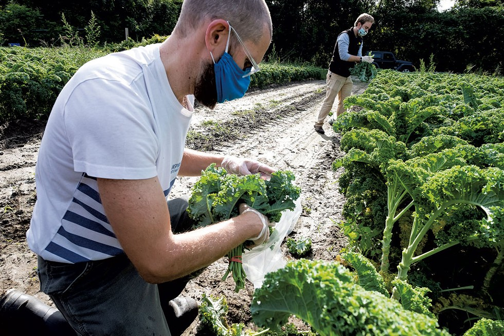 Gleaning locally grown kale to distribute - COURTESY OF THE VERMONT FOODBANK