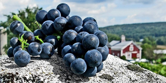 Grapes harvested at Boyden Valley Winery & Spirits - FILE: COURTESY OF BOYDEN VALLEY WINERY & SPIRITS