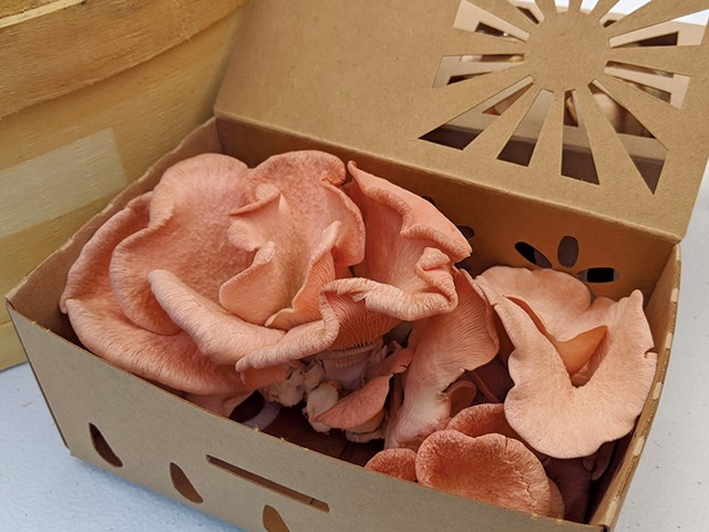 A box of pink oyster mushrooms - COURTESY OF KEVIN MELMAN