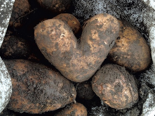 Freshly dug heart-shaped potato from Valentine Farm - COURTESY COMMUNITY HARVEST OF CENTRAL VERMONT
