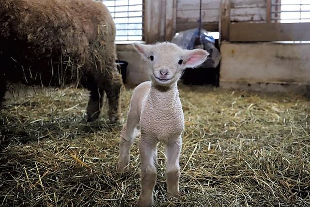 Norman, a 2020 lamb at Billings Farm & Museum - COURTESY OF BILLINGS FARM & MUSEUM