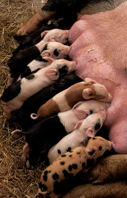 Newborn piglets in the farrowing barn - HANNAH PALMER EGAN