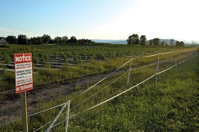 Hemp fields covered in black plastic - FILE: KEN PICARD ©️ SEVEN DAYS