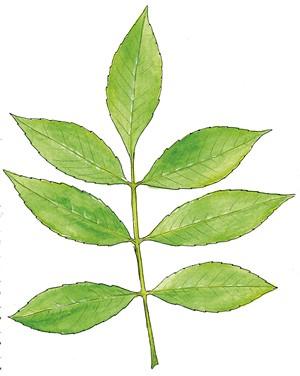 Green Ash, Fraxinus pennsylvanica - JEANIE WILLIAMS