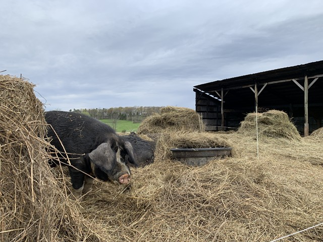 Bread & Butter Farm pigs on Monday in front of the damaged animal shed - MELISSA PASANEN ©️ SEVEN DAYS